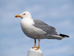 seagull_300px_jpg_300x10000_q85